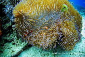 Photos_Clown_Fish_Raja_Ampat
