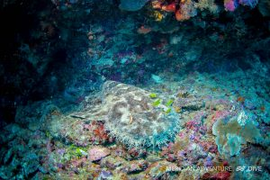 Photos_Wobbegong_Raja_Ampat